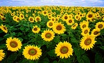 sunflower-11574_150