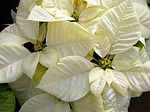 poinsettias-18100_150