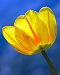 tulip-271352_150